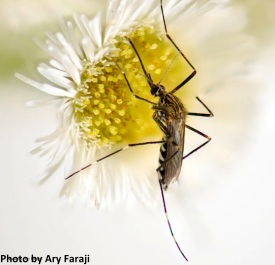 Aedes_japonicus editted 2