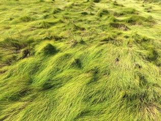 High marsh salt hay, Spartina patens