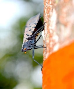 Spotted lanternfly feeding