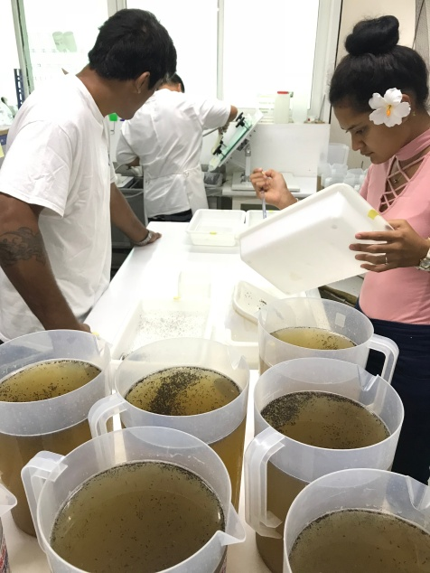 Buckets of Ae. polynesiensis pupae being sorted prior to release