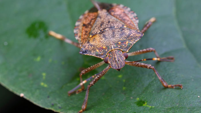 stink_bug in article