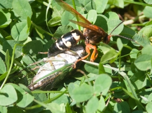 B. dragging a paralyzed cicada