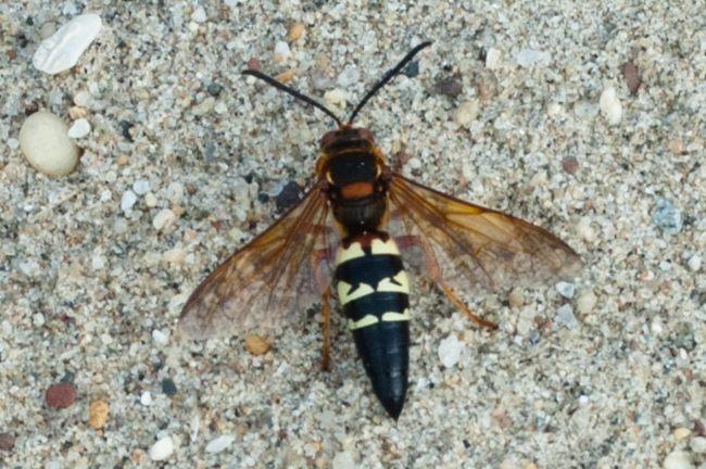 A. Eastern cicada killer
