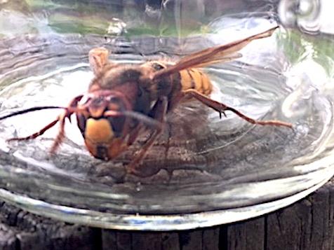 European hornet in a jar