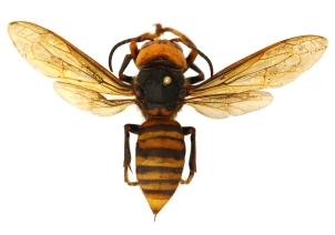 B. An Asian giant hornet