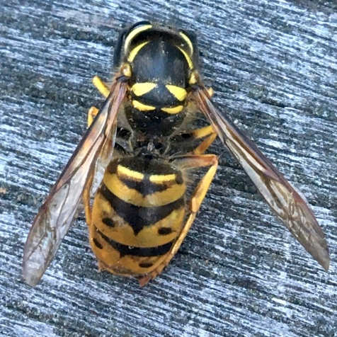 B. Yellowjacket from the top